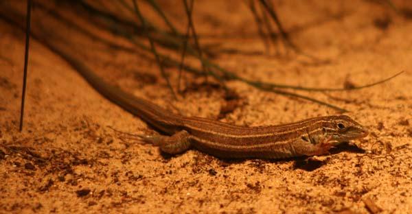 Desert Grassland Whiptail | Cnemidophorus uniparens photo