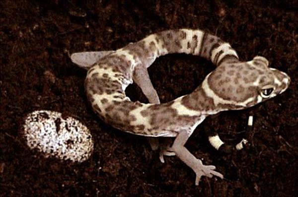 Texas Banded Gecko   Coleonyx brevis photo