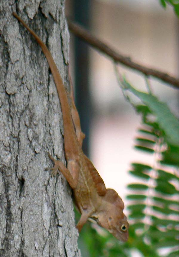 Crested Anole | Anolis cristatellus photo