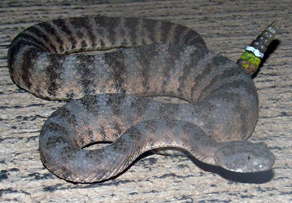 Tiger Rattlesnake | Crotalus tigris photo