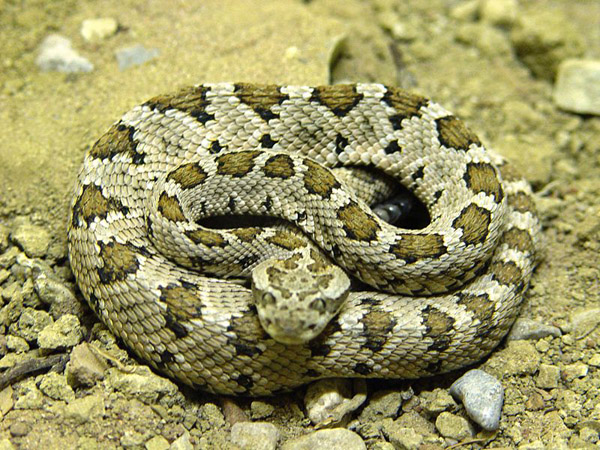 Baja California Rattlesnake | Crotalus enyo photo