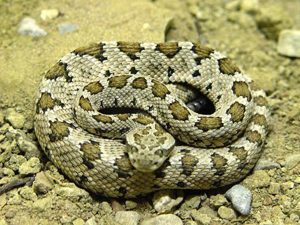 Baja California Rattlesnake | Crotalus enyo photo