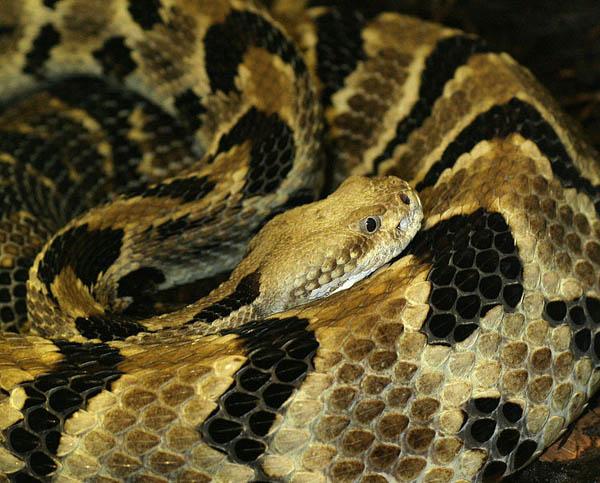 Timber Rattlesnake   Crotalus horridus photo