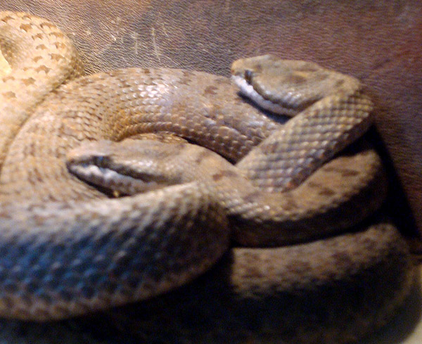 Twin-spotted Rattlesnake | Crotalus pricei photo