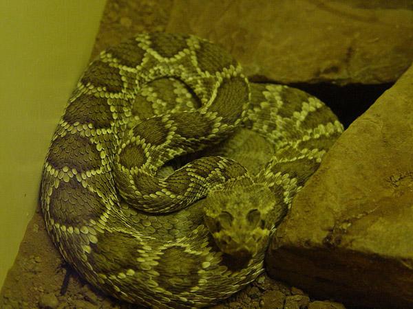 Mojave Rattlesnake | Crotalus scutulatus photo
