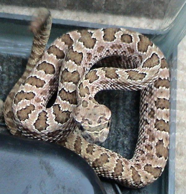 Hopi Rattlesnake | Crotalus viridis-nuntius photo