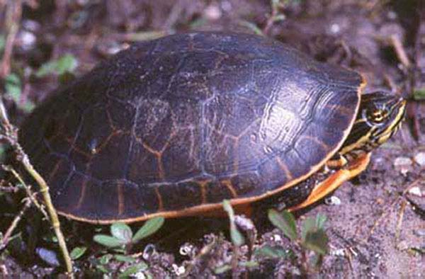 Chicken Turtle | Deirochelys reticularia photo