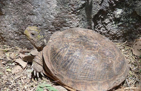 Desert Box Turtle | Terrapene ornata-luteola photo