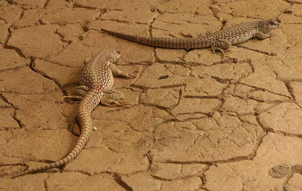 Desert Iguana | Dipsosaurus dorsalis photo