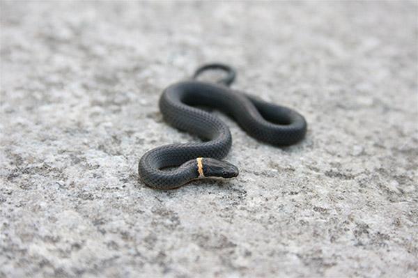 Northern Ringneck Snake | Diadophis punctatus-edwardsii photo