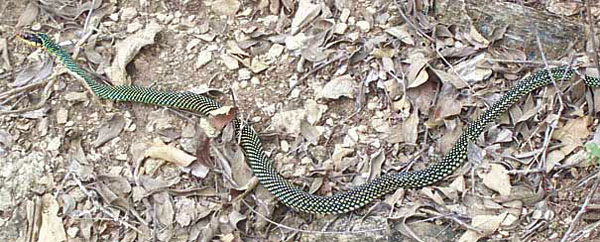 Speckled Racer | Drymobius margaritiferus photo