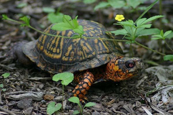 Eastern Box Turtle | Terrapene carolina photo