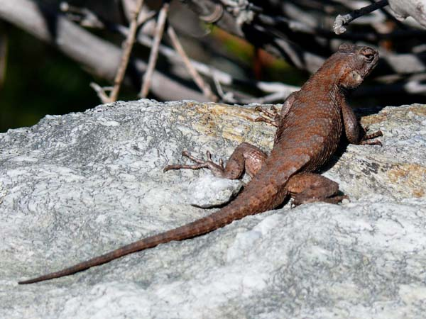 Eastern Fence Lizard | Sceloporus undulatus photo