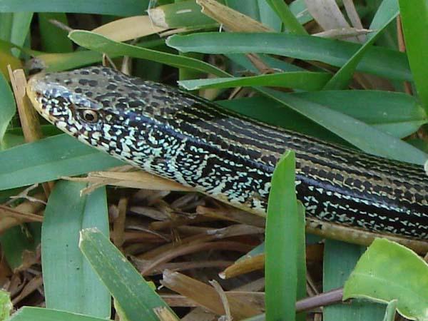 Eastern Glass Lizard | Ophisaurus ventralis photo