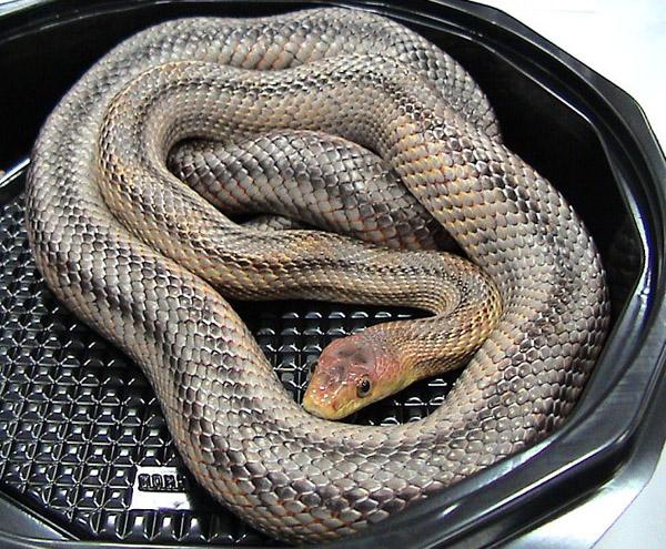 Baird's Rat Snake | Elaphe bairdi photo