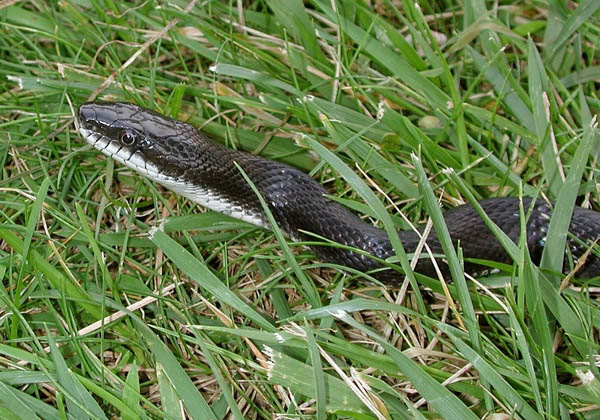Common Rat Snake | Elaphe obsoleta photo