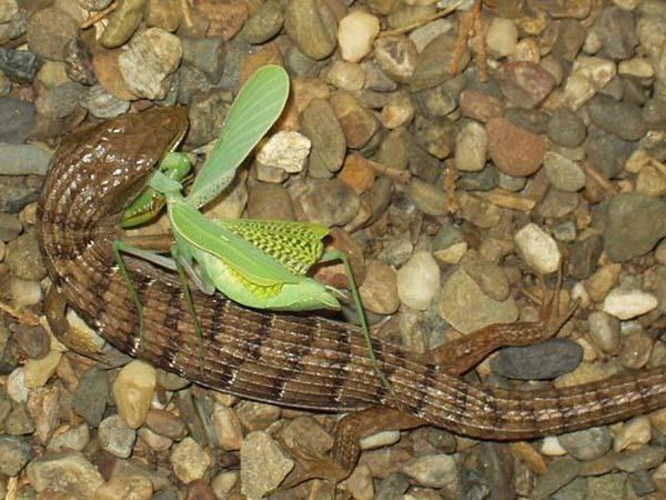 Southern Alligator Lizard   Elgaria multicarinata photo