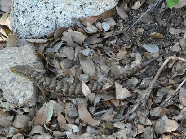 Southern Alligator Lizard | Elgaria multicarinata photo