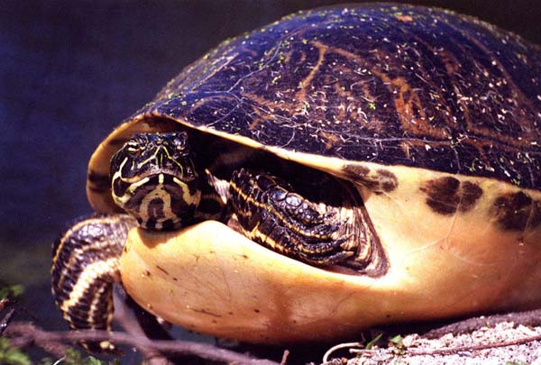 Florida Redbelly Turtle | Pseudemys nelsoni photo