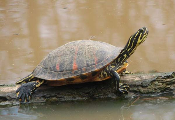 Florida Redbelly Turtle   Pseudemys nelsoni photo