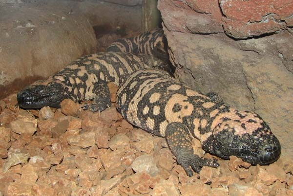 Gila Monster | Heloderma suspectum photo