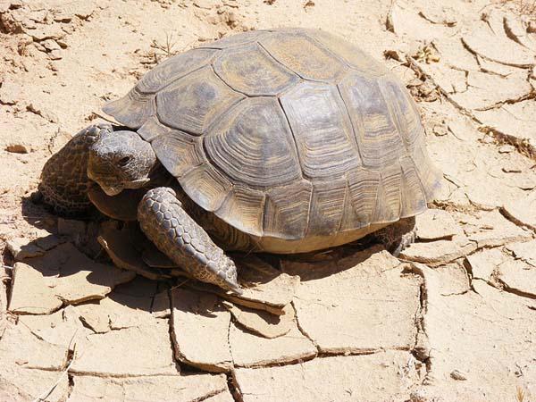 Desert Tortoise | Gopherus agassizii photo