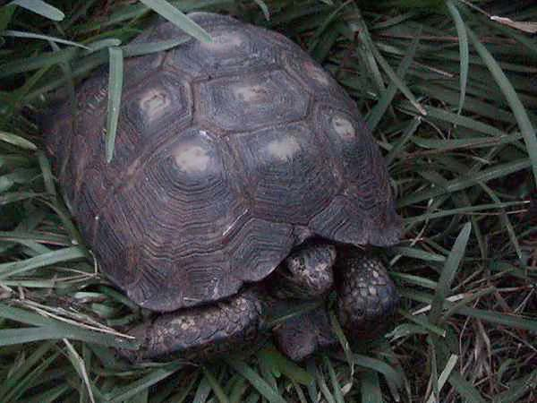 Texas Tortoise | Gopherus berlandieri photo