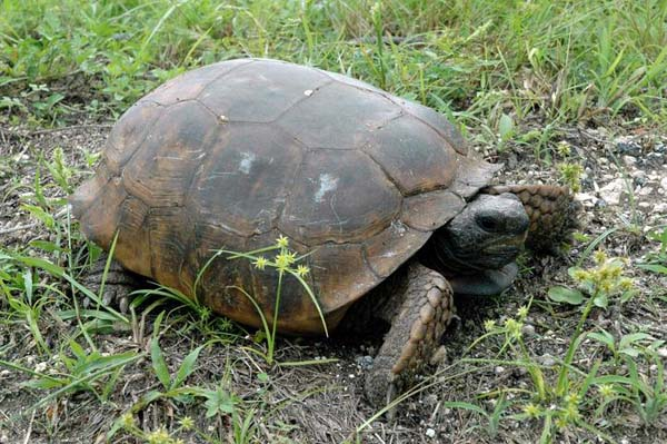 Gopher Tortoise | Gopherus polyphemus photo