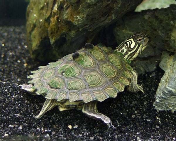 Barbour's Map Turtle   Graptemys barbouri photo