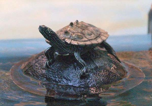 Black knobbed Map Turtle | Graptemys nigrinoda photo