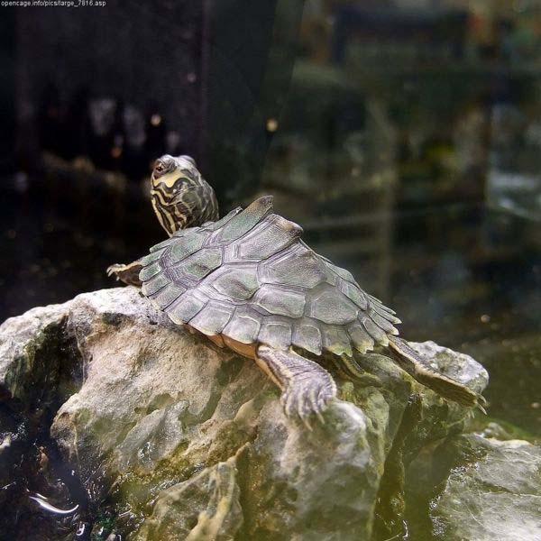 Alabama Map Turtle   Graptemys pulchra photo