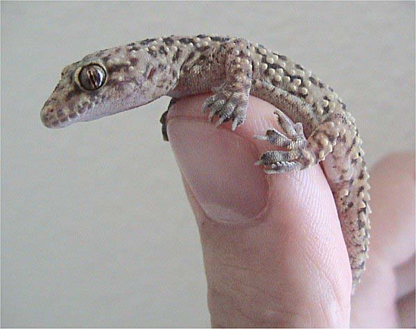 Mediterranean Gecko   Hemidactylus turcicus photo