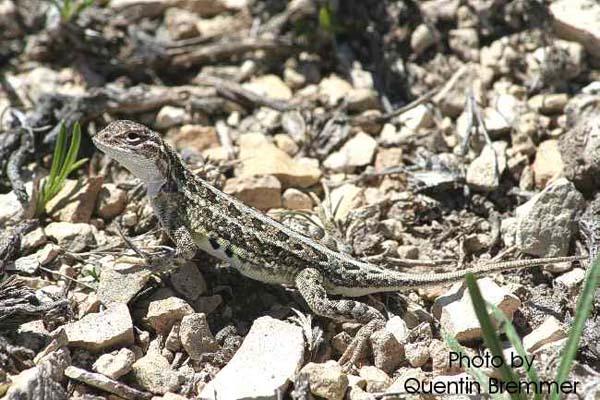 Lesser Earless Lizard | Holbrookia maculata photo