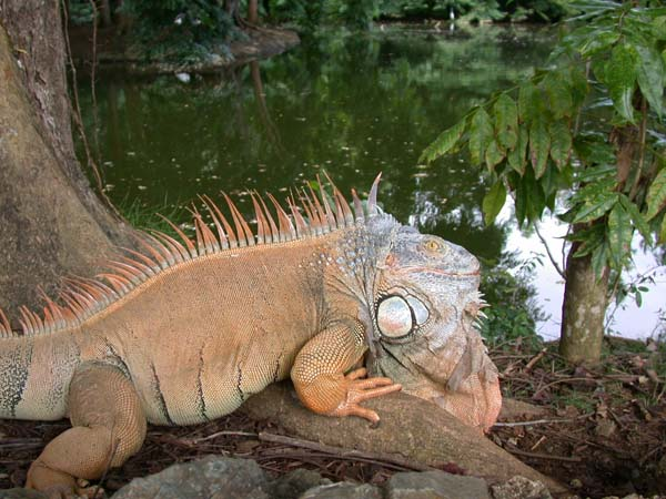 Common Iguana | Iguana iguana photo