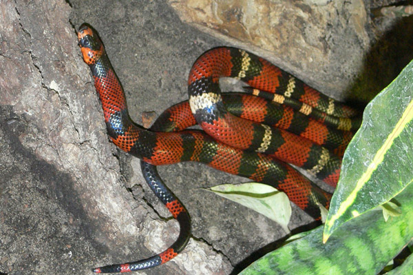 Honduran Milk Snake | Lampropeltis triangulum-hondurensis photo