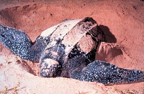 Leatherback Sea Turtle   Dermochelys coriacea photo