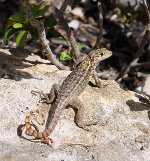 Curly tailed Lizard | Leiocephalus carinatus photo