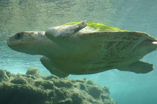 OliveRidley Sea Turtle | Lepidochelys olivacea photo