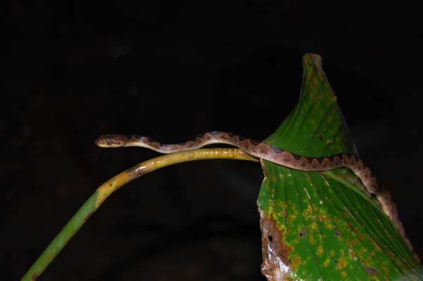 Cat-eyed Snake | Leptodeira septentrionalis photo