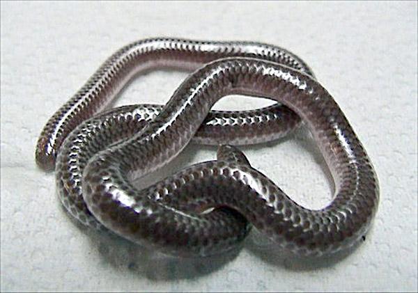 Texas Blind Snake | Leptotyphlops dulcis-dulcis photo