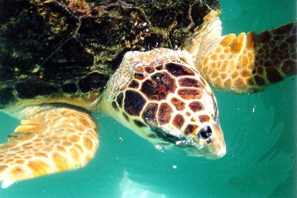 Loggerhead Sea Turtle   Caretta caretta photo