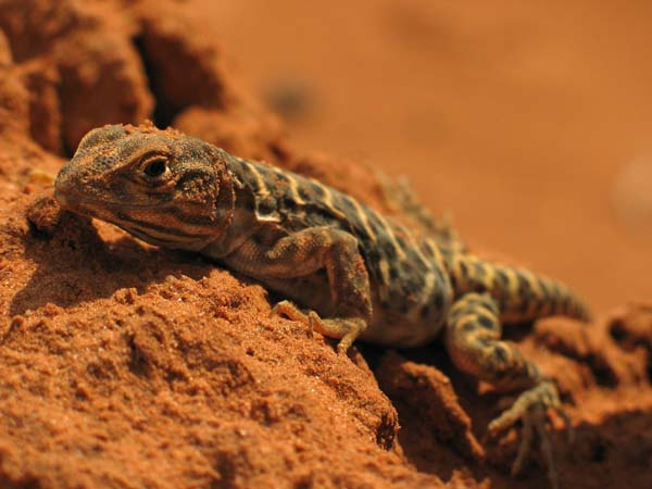 Longnose Leopard Lizard | Gambelia wislizenii photo