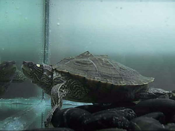 Mississippi Map Turtle   Graptemys kohnii photo