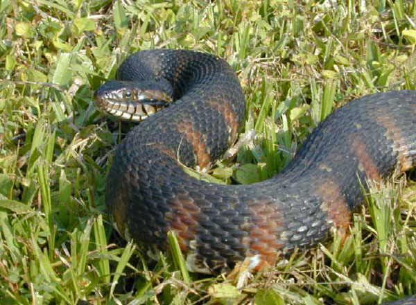 Florida Banded Water Snake   Nerodia fasciata-pictiventris photo