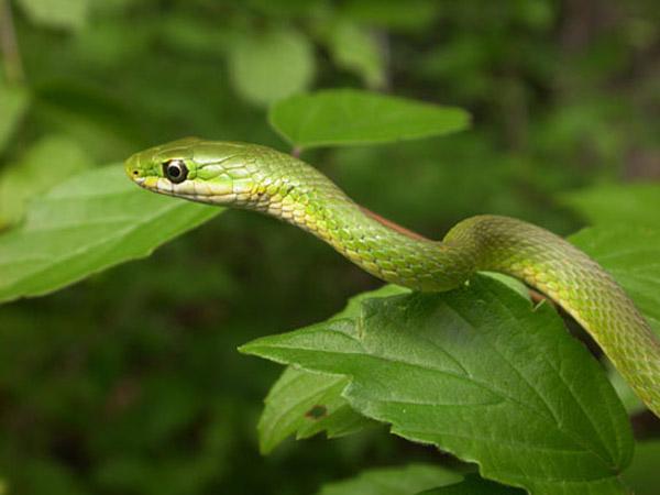 Rough Green Snake | Opheodrys aestivus photo