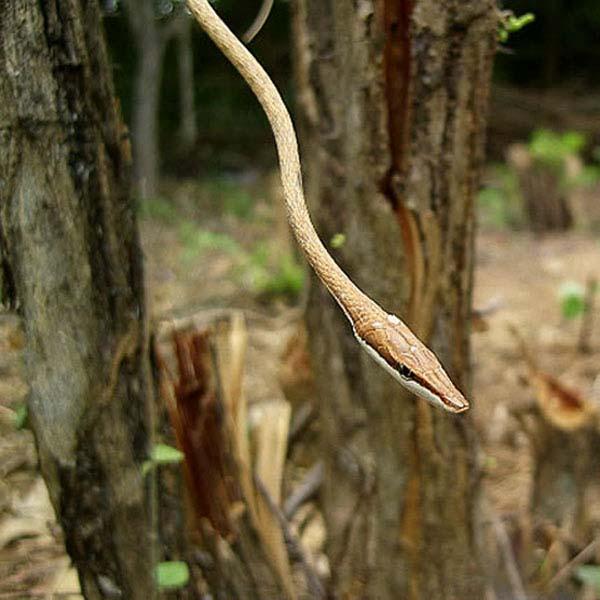 Mexican Vine Snake | Oxybelis aeneus photo