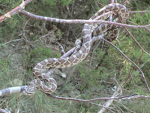 Emory's Rat Snake | Elaphe emoryi photo