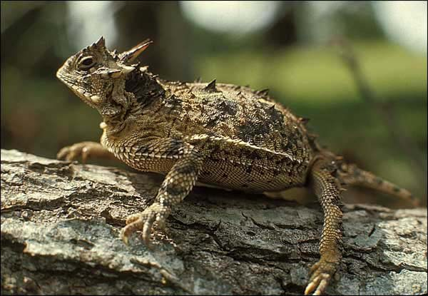 Texas Horned Lizard | Phrynosoma cornutum photo