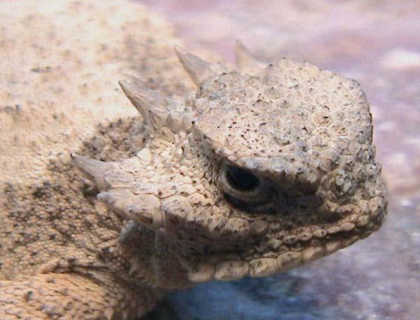 Roundtail Horned Lizard | Phrynosoma modestum photo