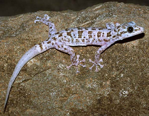 Leaf toed Gecko | Phyllodactylus xanti photo